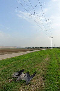 Dead juvenile Common crane (Grus grus) following collision with overhead power cable. Hula Valley, Israel. November.  -  Chris Gomersall