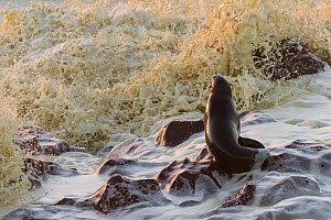 Cape fur seal (Arctocephalus pusillus) adult female in evening light  with big waves crashing on rocks,  Cape Cross seal colony, Namibia  -  Emanuele Biggi