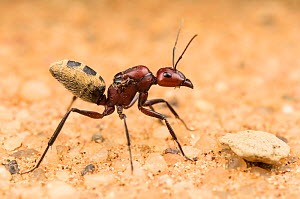 Namib Desert dune ant (Camponotus detritus), queen looking for a suitable place to start building a colony. Swakopmund, Dorob National Park, Namibia  -  Emanuele Biggi