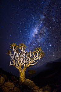 Quiver tree (Aloidendron dichotomum) at night with milky way visible in the sky,  Namib-Naukluft National Park, Namibia  -  Emanuele Biggi