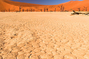 Deadvlei with dead Camel thorn tree (Vachellia erioloba) trees Namib-Naukluft National Park, Namib Desert, Namibia  -  Emanuele Biggi
