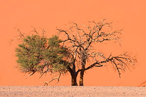 Camel thorn tree (Acacia erioloba) half dead and close to dune, Sossusvlei area, Namib-Naukluft National Park, Namib Desert, Namibia - Emanuele Biggi