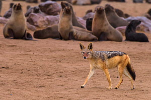 Black-backed jackal (Canis mesomelas) walking along some watchful Cape fur seals (Arctocephalus pusillus) Cape Cross seal colony, Namibia  -  Emanuele Biggi