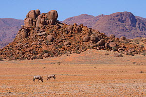 Gemsbok or South African oryx (Oryx gazella) grazing low dry vegetation, Namaqua, Namib desert, Namibia - Emanuele Biggi