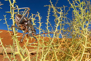 Desert cricket (Acanthoplus discoidalis) walking amongst spines of Nara melon (Acanthosicyos horrida) plant in the Namib Desert. Sossusvlei, Namibia. - Emanuele Biggi