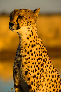 African cheetah (Acinonix jubatus) adult female, Namibia. Captive rescued individual. - Emanuele Biggi