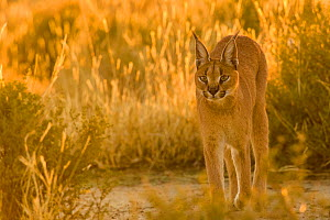 Caracal (Caracal caracal) in sunrise light, Namibia. Captive rescued individual - Emanuele Biggi