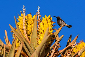 Dusky sunbird (Cinnyris fuscus) feeding on the nectar of quiver tree (Aloidendron dichotomum) flowers, Aus, Namibia  -  Emanuele Biggi