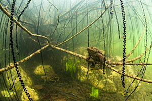 "Common toads (Bufo bufo) mating surrounded by strings of toadspawn. Ain, Alps, France. First prize in the  category ""The Underwater World, GDT European Wildlife Photographer of the Year 2014 competiti... - Remi Masson"