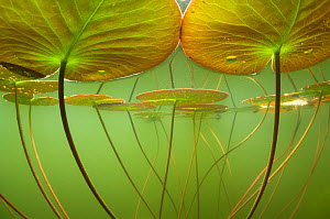 Water lilies (Nymphaea alba) lit by the sun's rays, seen under water. Alps, Ain, France. June. Highly commended in the the Underwater World category, GDT European Wildlife Photographer of the Year 201...  -  Remi Masson