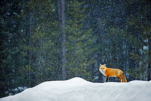 Red fox (Vulpes vulpes) in snowfall, Grand Teton National Park, Wyoming, USA, February. - Radomir Jakubowski