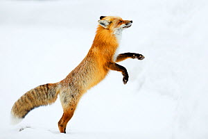 Red fox (Vulpes vulpes) jumping in snow, Grand Teton National Park, Wyoming, USA, February. - Radomir Jakubowski