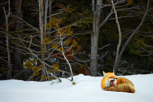 Red fox (Vulpes vulpes) resting  in snow, Grand Teton National Park, Wyoming, USA, February. - Radomir Jakubowski