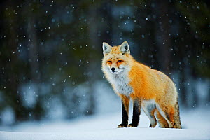 Red fox (Vulpes vulpes) in snow, Grand Teton National Park, Wyoming, USA, February. - Radomir Jakubowski