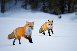 Red fox (Vulpes vulpes) two running in snow, Grand Teton National Park, Wyoming, USA, February. - Radomir Jakubowski