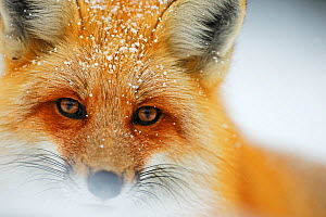 Red fox (Vulpes vulpes) face portrait  in snow, Grand Teton National Park, Wyoming, USA, February. - Radomir Jakubowski
