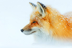 Red fox (Vulpes vulpes)  portrait in snow, Grand Teton National Park, Wyoming, USA, February. - Radomir Jakubowski