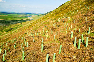 Tree planting at the RSPB reserve at Geltsdale North Cumbria UK. May 2005 - Ashley Cooper