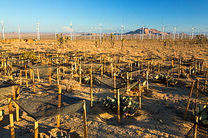 Cactus regeneration area infront of the Tehachapi Pass wind farm, the first large scale wind farm area developed in the US, California, USA. September 2014 - Ashley Cooper