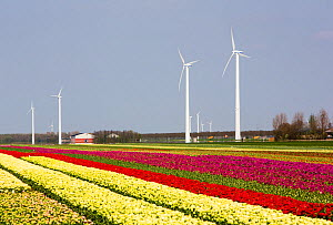 Tulip fields and wind farm and tulip fields near Almere, Flevoland, Netherlands. May 2013 - Ashley Cooper