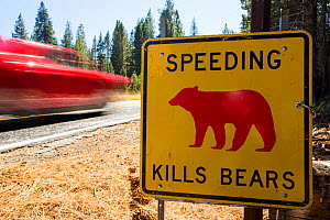 Speed kills bears sign in Yosemite National Park, each sign marks a spot where a bear has been killed by traffic, California, USA. October 2014 - Ashley Cooper