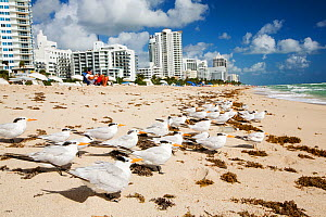 Royal terns  (Thalasseus maximus) nests on the beach infront of hotels and apartment blocks on Miami Beach, Florida, USA. October 2015  -  Ashley Cooper