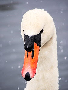 Mute Swan (Cygnus olor) in the snow on Lake Windermere, Lake District, England, UK. March.  -  Ashley Cooper