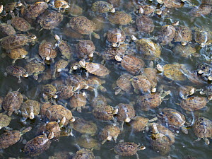 Striped necked terrapins (Mauremys caspica) in a river in Skala Eresou, Lesvos, Greece. June.  -  Ashley Cooper