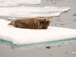 Bearded seal (Erignathus barbatus) on rotten melting sea ice, off the coast of Northern Svalbard. July 2013. - Ashley Cooper