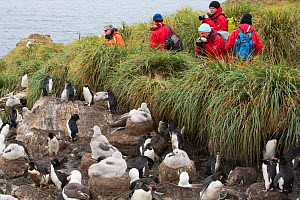 Tourists watching Black browed albatross (Thalassarche melanophris)  and Rockhopper penguins (Eudyptes chrysocome) nesting colony on Westpoint island, Falkland Islands, South America,February 2014 - Ashley Cooper