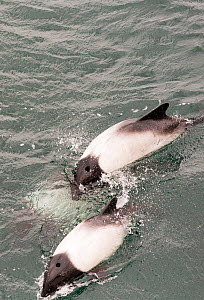 Commerson's dolphin (Cephalorhynchus commersonii) swimming round a ship off the Falkland Islands. February 2014 - Ashley Cooper