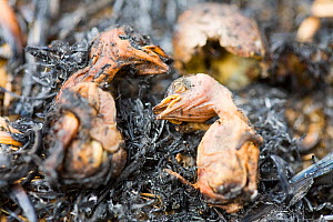Meadow pipit (Anthus pratensis) chicks killed by the fire caused by discarded cigarette, Littleborough, England, UK. May. - Ashley Cooper