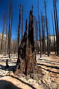Forest fire destroyed area of forest in the Little Yosemite Valley, Yosemite National Park, California, USA. Most of California was in exceptional drought, the highest classification of drought, which... - Ashley Cooper