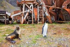 King penguin (Aptenodytes patagonicus) and Antarctic fur seal (Arctocephalus gazella), by the old whaling station at Grytviken on South Georgia. In its 58 years of operation, it handled 53,761 slaught...  -  Ashley Cooper