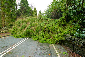 Tree fallen into the road after severe storm hit Cumbria with over 100 mph winds, Cumbria, England, UK. January 2005 - Ashley Cooper