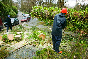 Tree surgeon sawing tree which has fallen into the road after severe storm hit Cumbria with over 100 mph winds, Cumbria, England, UK. January 2005 - Ashley Cooper