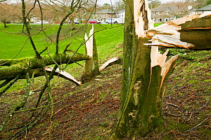 Tree fallen  after severe storm hit Cumbria with over 100 mph winds, Cumbria, England, UK. January 2005 - Ashley Cooper