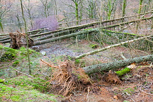 Trees which have fallen after severe storm hit Cumbria with over 100 mph winds, Cumbria, England, UK. January 2005 - Ashley Cooper