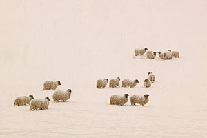 Sheep stuck in heavy snow near Ambleside, England, UK. March 2006 - Ashley Cooper