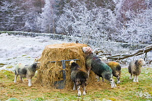 Herdwick sheep feeding on hay during a cold snap near Tarn Hows in the Lake district UK. January 2009 - Ashley Cooper