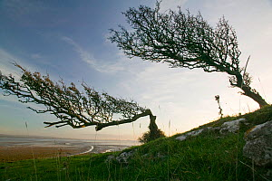Hawthorn trees (Crataegus monogyna) bent over by the prevailing wind on Humphrey Head Point above Morecambe Bay , Grange over Sands, England, UK. November 2006  -  Ashley Cooper