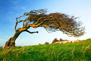 Hawthorn tree (Crataegus monogyna) bent over by the prevailing wind on Humphrey Head Point above Morecambe Bay near Grange over Sands, England, UK. November 2006  -  Ashley Cooper