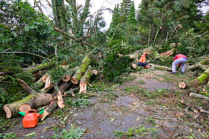 Tree surgeons removing trees which fell during  a severe storm, Cumbria, England, UK. January 2005 - Ashley Cooper