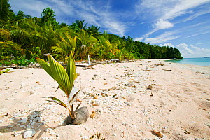 Coconut seedling (Cocos nucifera) on beach, Funafuti Atoll, Tuvalu. March 2007. These islands are very low lying and susceptible to sea level rise. - Ashley Cooper