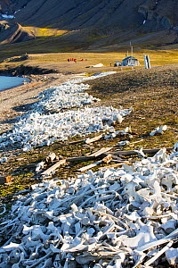 Pile of bones, the remains of hunted Beluga Whales (Delphinapterus leucas) at Bourbonhamna Svalbard, Norway, July 2013  -  Ashley Cooper
