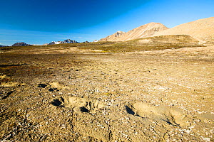Polar Bear footprints in melting permafrost on Northern Svalbard. July 2013 - Ashley Cooper