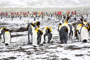King penguins (Aptenodytes patagonicus) with passengers from an expedition cruise. Gold Harbour, South Georgia,  February 2014 - Ashley Cooper
