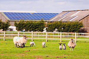 A 35 Kw solar panel system on a barn roof on a farm in Leicestershire, UK with sheep and lambs in the foreground. March 2012 - Ashley Cooper