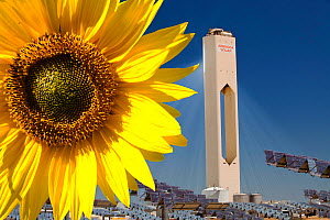 Sunflower next to the PS20 solar thermal tower, the only such working solar tower currently in the world. Sanlucar La Mayor, Andalucia, Spain. May 2011 - Ashley Cooper