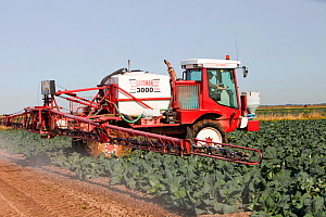 Farmer spraying his cabbages with pesticide, Banks, Southport, UK. September 2011  -  Ashley Cooper